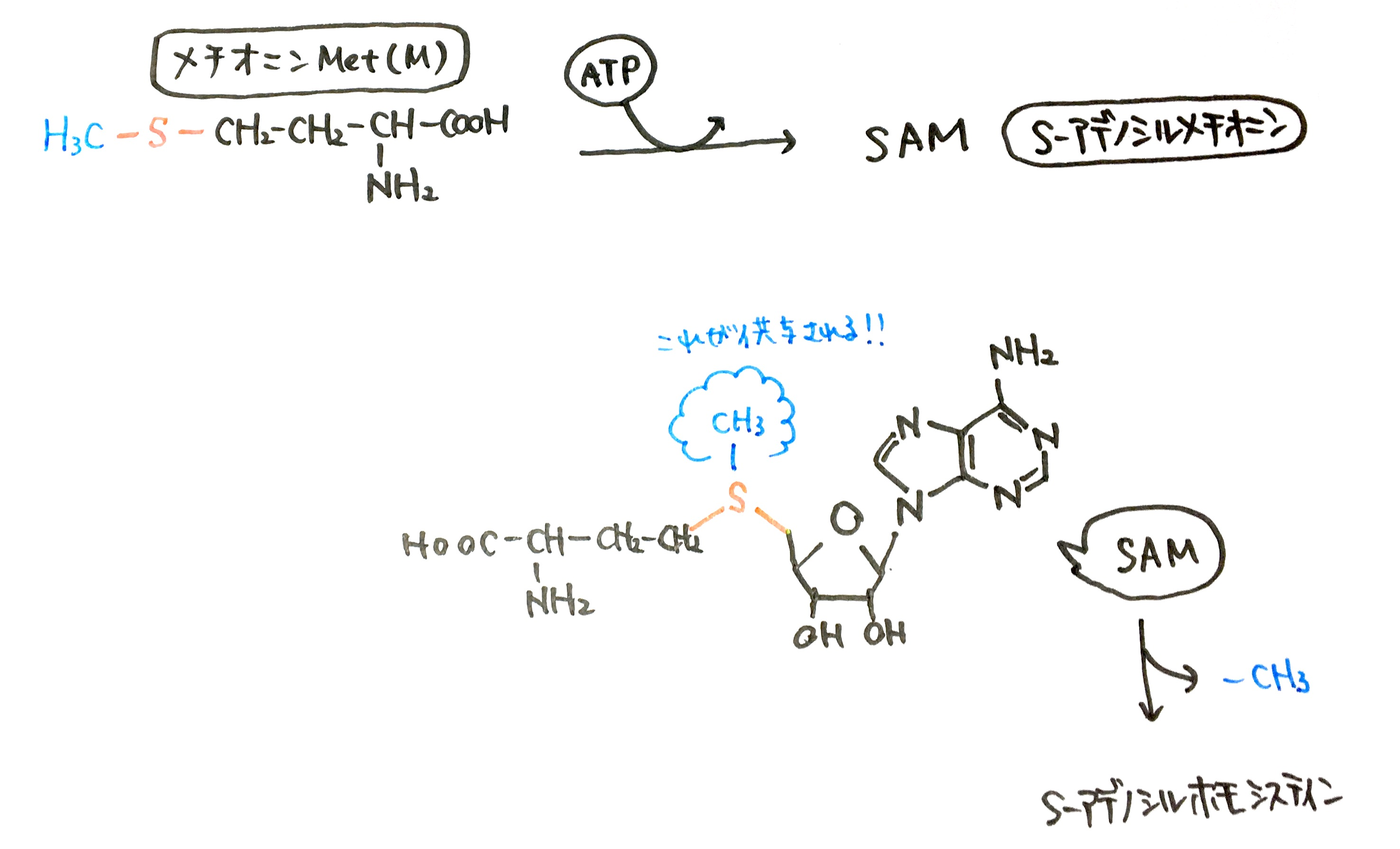 アミノ酸代謝について