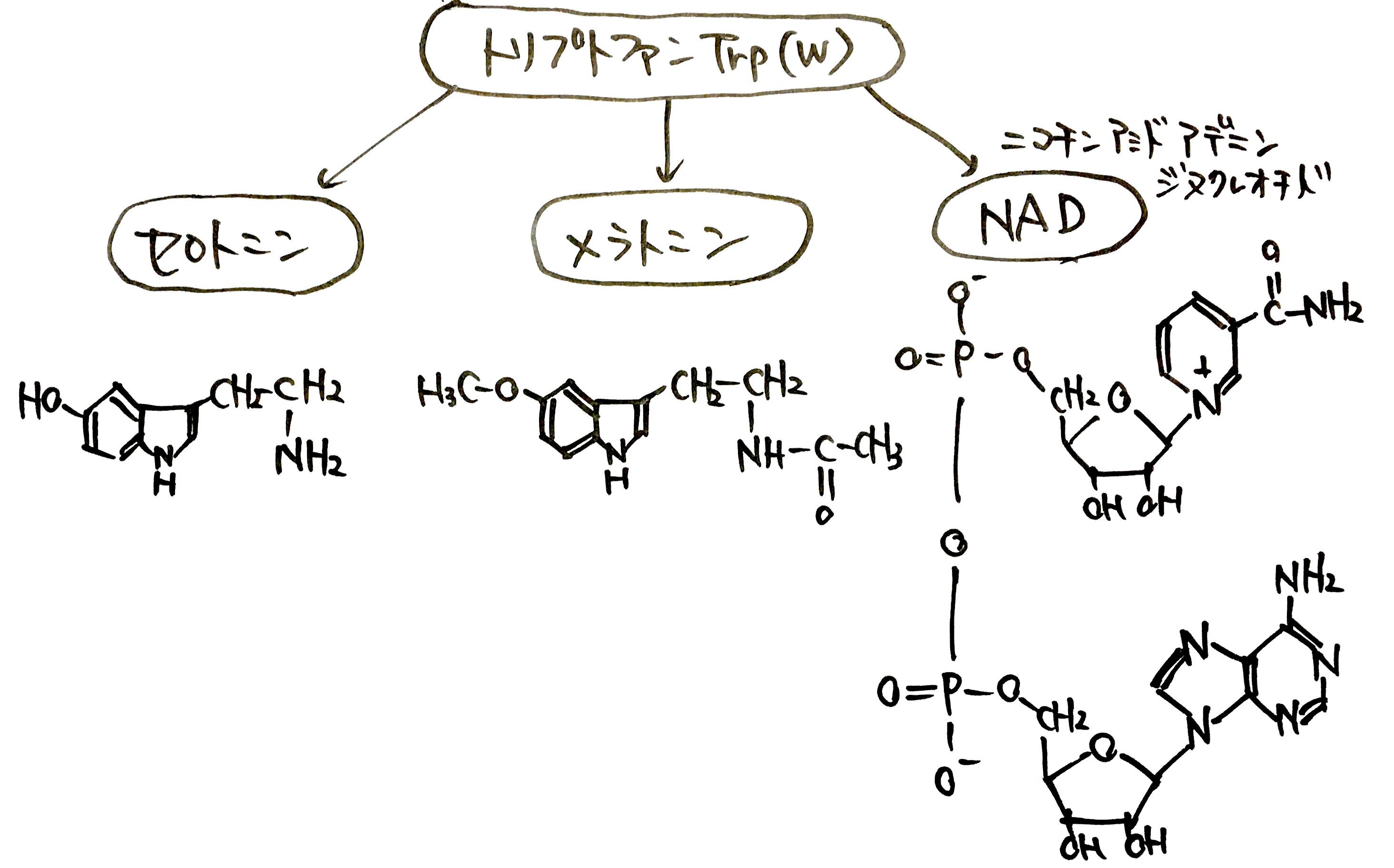 生体物質の前駆体としてのアミノ酸利用